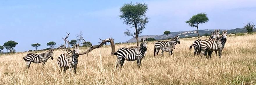 Juggling Fire: zebras in the Serengeti near Mwanza, Tanzania, Africa