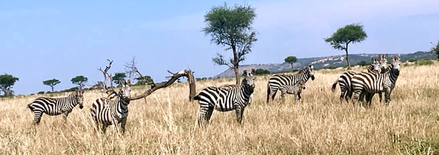 Juggling Fire: zebras in the Serengeti near Mwanza, Tanzania, Africa